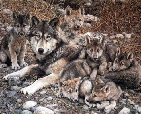 lobo iberico crowdfunding